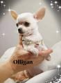 Chiots Chihuahuas inscrits au LOF