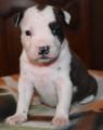Vend 8 chiots American Staffordshire Terrier - 6 mâles & 2 femelles