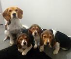 Vend 2 chiots Beagle