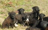 Donne 16 chiots Beauceron - 10 mâles & 6 femelles
