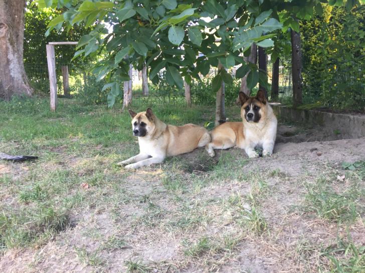 Vend un chien Akita Américain