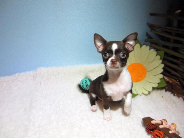 Vend un chiot Chihuahua