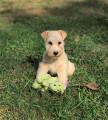 Vend 6 chiots Lakeland Terrier - 4 mâles & 2 femelles