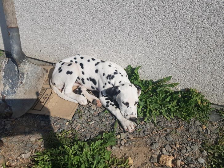Chiots Dalmatiens LOF à vendre