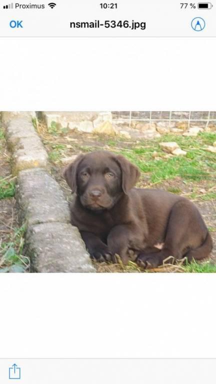 Chiots Labradors chocolats à vendre
