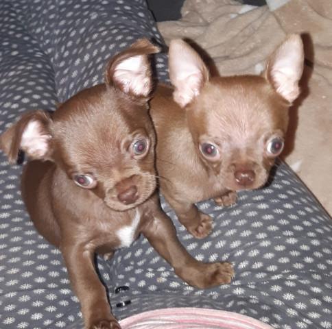 Vend 2 chiots Chihuahua