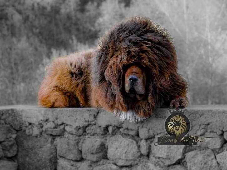 Exceptionnel Dogues Du Tibet Des Lions Du Tibet A Vendre Petite Annonce Chien