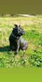 Propose étalon Staffordshire Bull Terrier pour saillie
