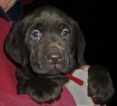 Chiots Labradors chocolat LOF à vedre