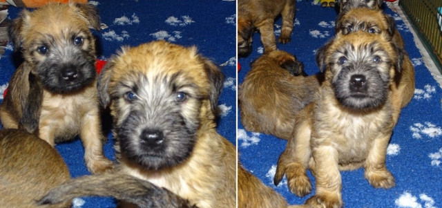 Vend un chiot Irish Soft Coated Wheaten Terrier