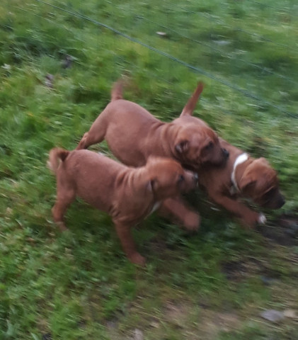 Vends chiots type Staffie - Staffordshire Bull Terrier