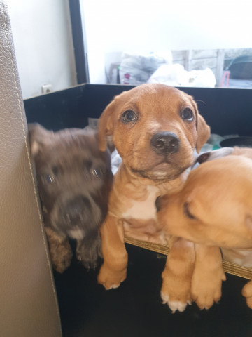 Vend 4 chiots American Staffordshire Terrier - 3 mâles & 1 femelle