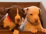 Americans Pitbulls Terriers à vendre