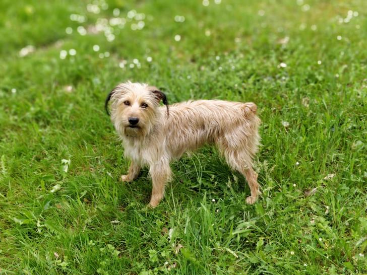 chien Berger des Pyrénées Mâle à donner
