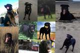 Propose màle Labrador-Rottweiler/Beauceron pour saillie.