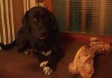 Donne Labrador X Border mâle stérilisé - 4 ans