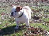 Chiot mâle Bulldog Anglais à vendre