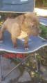 6 chiots American Staffordshire Terrier à vendre (2 Femelles & 4 Mâles)