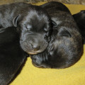 5 chiots Irish Wolfhound à vendre (2 Femelles & 3 Mâles)