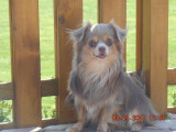 Chihuahua poils longs à vendre