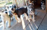 Magnifiques chiots Husky de Sibérie à vendre