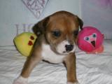 4 superbes Staffordshires Bulls Terriers LOF à vendre