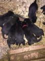 Chiots Rottweiller mâles & femelles à vendre