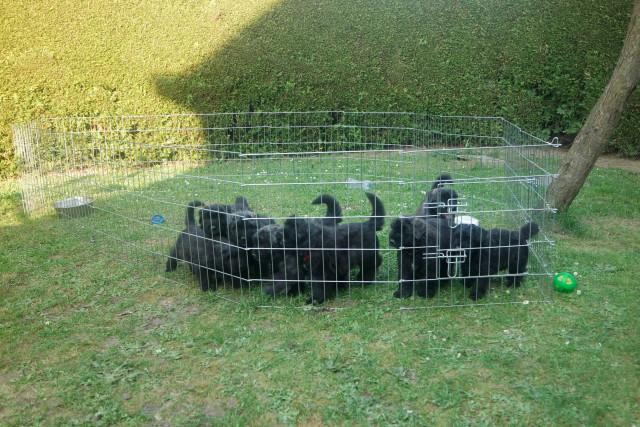 2 chiots Bouvier des Flandres à vendre (2 Femelles)