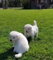 Adorables chiots Bergers Blancs Suisses à réserver