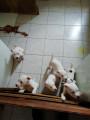 6 chiots American Staffordshire Terrier à vendre (1 Femelle & 5 Mâles)
