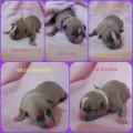 11 chiots American Staffordshire Terrier à vendre (5 Femelles & 6 Mâles)