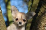 2 chiots Chihuahua à vendre (2 Mâles)