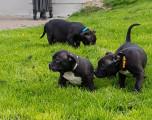 11 chiots American Bully à vendre (5 Femelles & 6 Mâles)