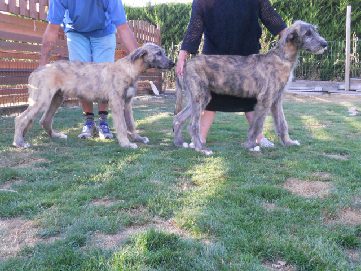 Chiots Irish Wolfhound mâles à vendre