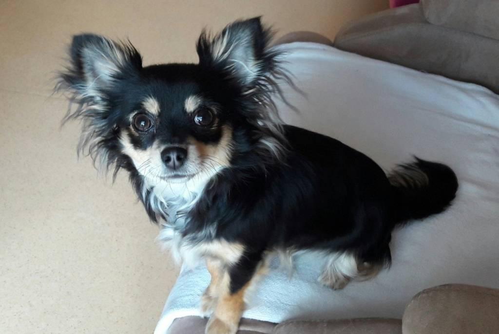 Recherche étalon Chihuahua pour saillie
