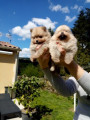 3 chiots Loulous de Poméranie à vendre (1 Femelle & 2 Mâles)