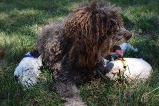 À réserver magnifiques chiots truffiers Lagotto LOF