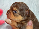 chiot Chihuahua mâle à vendre