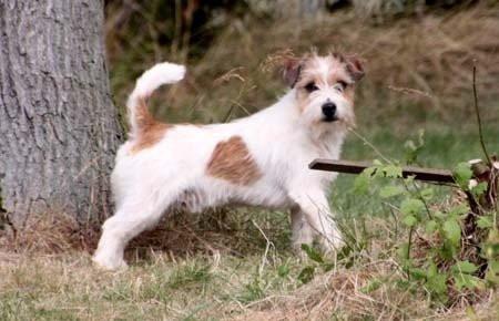 Jacks Russells pedigree Saint-Hubert à vendre