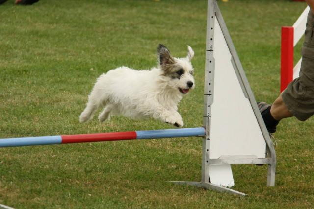 Oria chienne d'agility