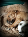 7 chiots American Staffordshire Terrier à vendre (4 Femelles & 3 Mâles)