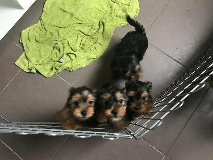 4 Chiots Yorkshire Terrier A Vendre 2 Femelles 2 Males Petite Annonce Chien
