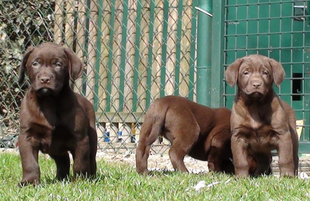 Chiots Labrador