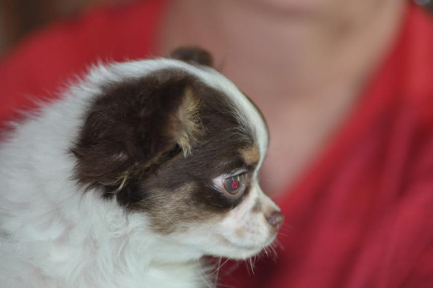 Chiots Chihuahua femelle à vendre