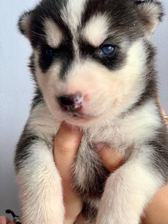 6 chiots Husky Sibérien à vendre (3 Femelles & 3 Mâles)
