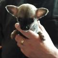 6 chiots Chihuahua à vendre (2 Femelles & 4 Mâles)