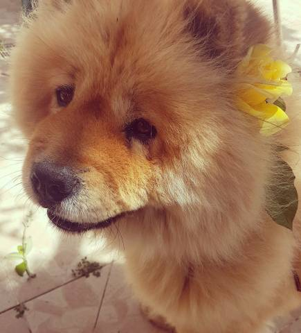 Chien Chow Chow A Donner Petite Annonce Chien