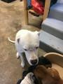 chien Dogue Argentin Mâle à donner