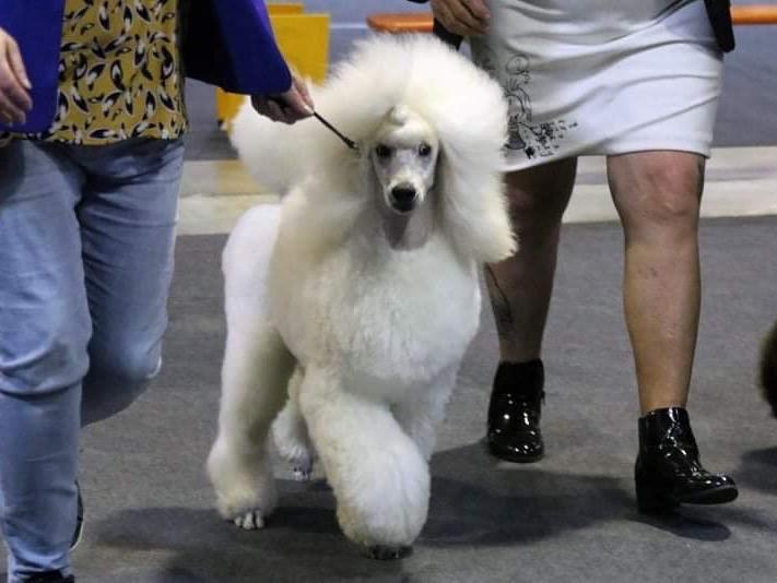 chien Caniche Mâle à vendre