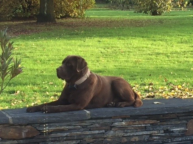 Propose Labrador chocolat pour saillie
